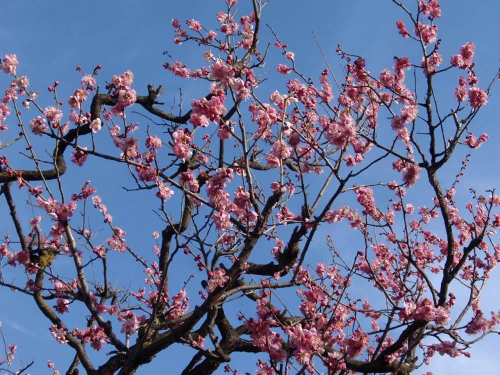 松本城にて 梅の花